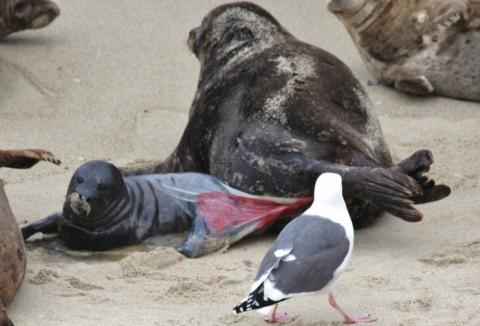 A harbor seal gives birth. Courtesy Sara Ohara