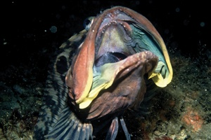 "An adult male sarcastic fringehead ""mouths off"" to ward me away from his burrow. Expanding the gill flaps makes the head appear larger and more menacing, also exposing yellow markings that identify him as a male. © 2009 JUDITH LEA GARFIELD"