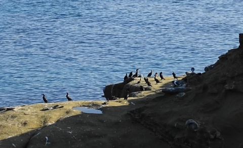 brown booby congregating with cormorants. c.Rosemary Tu