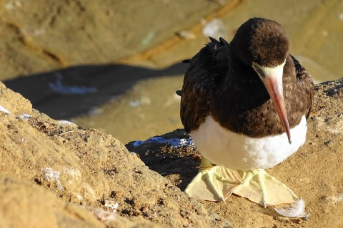 Brown booby on La Jolla bluff. c.Rosemary Tu