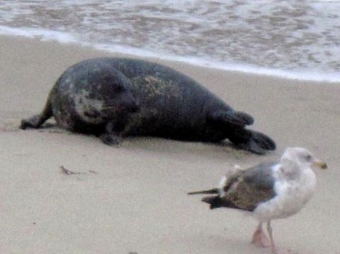 """""""Rocky,"""" the survivor harbor seal can be singled out by the big splotch of white on his neck. Courtesy Jennifer Rogge"""