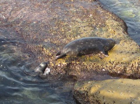 A baby harbor seal learns the ropes of rock climbing from its mom. Courtesy Nancy Lee