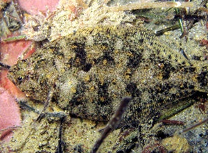 The sanddab shifts color and pattern (in different shades of bland) to blend into the background. This darker patterned dab settles among a carpet of plant detritus called an algal mat. © 2010 JudithLeaGarfield