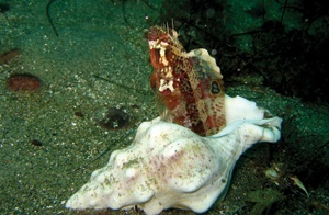 © 2009 JUDITHLEAGARFIELD A young sarcastic fringehead defends his home, a Kellet's welk shell. Note a brilliant blue eyespot on the dorsal fin.