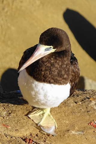 brown booby. c.Rosemary Tu