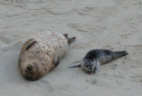 How do seals get so roly-poly?  Researchers have found that pinniped feces contain a mix of specific bacteria similar to those in obese humans. ©2013 Judith Lea Garfield