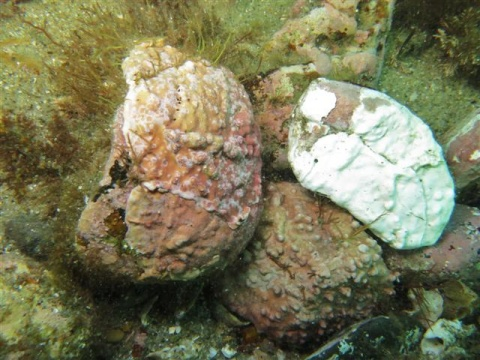 When crustose coralline algae die, they bleach snow-white. ©www.TideLines.org