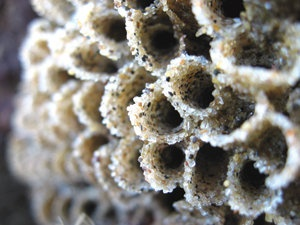 The sandcastle worm secretes a glue to stick sand grains together and form a casing that solidifies soon after being secreted. © 2010 JUDITH LEA GARFIELD