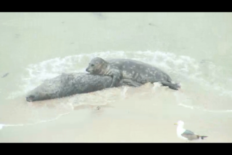 The seal webam captures a harbor seal responding to the death of one of its own. The unfolding drama, while sorrowful, provides a glimpse into previously unobserved behavior in harbor seals. Courtesy WANConservancy.org