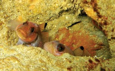 © 2008 JUDITH LEA GARFIELD Otherwise solitary, black-eye gobies (Rhinogobiops nicholsii) pair up only to spawn, evidenced by the orange mass adhered within the hole behind them.
