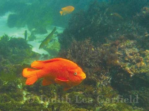What's just as wonderful as seeing a garibaldi set against an aqua background is knowing that the hefty, fiery-orange fish lives right here in San Diego waters. ©2011 Judith Lea Garfield