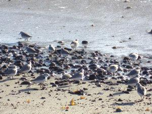 Pebbles or sanderlings? When sanderlings mingle with beach rocks, their white underbellies are cleverly hidden. A round body further mimics the shape of surf-rolled stones. Photo by Judith Lea Garfield
