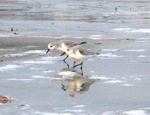 A short beak means sanderlings can only pluck prey from near the sand's surface. Photo by Judith Lea Garfield