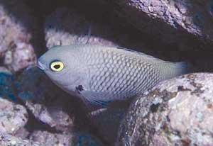 Blackish- or brownish-gray, the Pacific gregory damselfish has a disheveled appearance due to some scales being lighter than others. There is a one bright spot — or two, rather: lemon-yellow eyes. These visibly darken as part of an aggression tactic. Photo by John P. Hoover