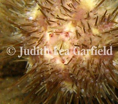 A white sea urchin (Lytechinus anamesus) bares its five platelike teeth.©2011 Judith Lea Garfield