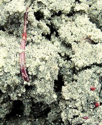 © 2008 JUDITH LEA GARFIELD Fragile blood worms have stretchy bodies to navigate through the sand column.