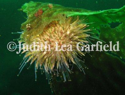 Sea urchins, like this green urchin (Strongylocentrotus droebachiensis), have tube feet to aid locomotion. The inflatable tubes are controlled by the water vascular system. ©2011 Judith Lea Garfield