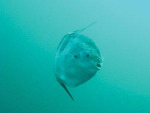 Mola locomotion is unique from other bony fish. Instead of a tail fin for propeller, Molas have tall, oarlike fins they simultaneously scull to get ahead. The lobe, which replaces the tail, is instead a rudder for steering. Photo courtesy of Brenda Bridgett