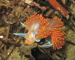 This deep-orange H. crassicornis polishes off a meal of brooding anemone. ©2011 Judith Lea Garfield