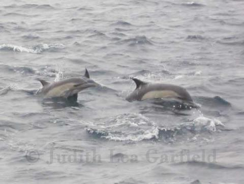 Recent pathologic studies of dolphins, like these common dolphins (Delphnius sp.) indicate a resurgence in infectious diseases, which may reflect environmental distress, and these diseases impact human health directly or indirectly. ©2011 Judith Lea Garfield