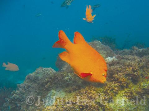 A garibaldi defends its territory of rocky reef mostly hidden by a mix of seaweed and other algae. Other garibaldi seen nearby are guarding their own domain. ©2011 Judith Lea Garfield