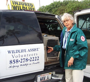 Marie Molloy of Wildlife Assist responds to reports of wild birds and mammals (nonmarine mammals) in trouble within San Diego County. The free, 24-hour service, ongoing 365 days/year, survives solely through donations and membership fees. Call (858) 278-2222 to learn more, become a member, volunteer, or donate. Copy the following number to your cell phone, and put yourself in the satisfying position of being able to alleviate wildlife suffering and maybe save a life. Wildlife Assist Emergencies: (619) 921-6