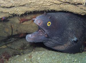 Historically found from Mexico to Peru, 2003 marked a new extension to the argus moray eel's range with a diver discovery off Catalina Island. Since then, a small number of SoCal sightings have been made of this yellow-eyed eel. © 2009 JUDITH LEA GARFIELD