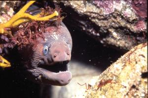 I'm not about to bite. A California moray demonstrates mouth-breathing technique. Without gill flaps that accessorize most bony fish, morays must open their mouth for fresh seawater to reach their gills. © 1994 JUDITH LEA GARFIELD