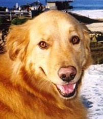 Sydney the Golden Seal and water wonder dog