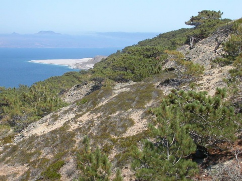 Torrey Pines trees, <em>Pinus torreyana ssp. insularis</em>, are found in small groves only here on Santa Rosa Island and on a small bluff off coastal San Diego.  ©Tidelines.org