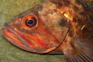 Predator fish like the brown rockfish here are nearsighted. Seeing well up close is critical to pouncing on prey. © 2009 JUDITH LEA GARFIELD
