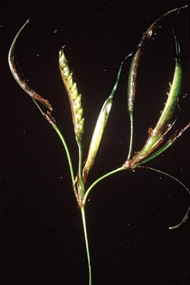 © 2009 JUDITHLEAGARFIELD No need for birds or bees — the self-contained surfgrass flower self-pollinates.