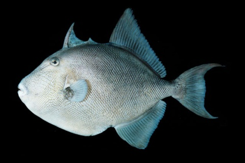 A finescale triggerfish's (<em>Balistes polylepis</em>) knifelike trigger is poised for attack while the mouth is permanently poised for a kiss. ©J.E. Randall