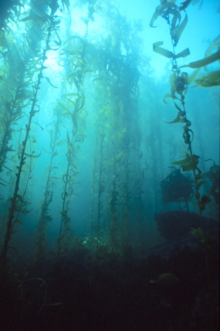 "The first migrants to North America may have paddled the coastal ""kelp highway,"" where the giant kelp, <em>Macrocystis pyrifera</em>, grow.  ©TideLines.org"