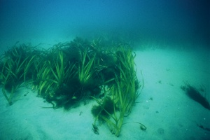 © 2009 JUDITHLEAGARFIELD This eelgrass island (above) is made up of numerous generations that hark back to one plant. Each plant's roots sit loosely in the sandy substrate.
