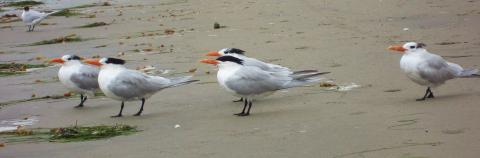Tern style is facing the ocean, always a prudent pose when poised where land meets the unruly sea. The combined physical attributes and determined stance somehow make the terns look like they are fighting a headwind, though in reality they are comfortably stationary. ©2012 Judith Lea Garfield