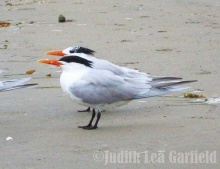 When it comes to breeding — or not — headgear is all important. The royal tern in the foreground displays readiness for breeding with a black cap of plumage covering the eyes, while the neighboring royal dons the winter (nonbreeding) outfit: a snowy cap with some black speckling toward the crest. ©2012 Judith Lea Garfield