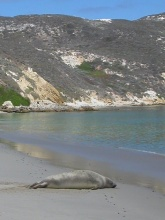 The Northern elephant seal, Mirounga angustirostris, naps on San Miguel Island. ©TideLines
