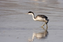 Grebes are water birds; their physical structure makes walking awkward. c.Kevin Cole